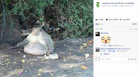 【画像】人間がジャンクフードを与えまくってデブになった野生の猿、ダイエットを開始