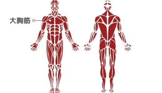 筋トレ初心者向け「上半身」の筋肉解説│大胸筋、三角筋、広背筋、僧帽筋、脊柱起立筋はどこを指す?